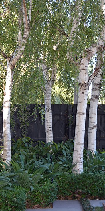 "Betula pendula ""Moss White"" Moss White is a variety of Weeping Birch with beautiful bright white bark. During Autumn the foliage turns a vivid yellow while in Winter the bare tree shows off a graceful arching habit and of course it's lovely white bark. Moss White Birches thrive in moist, well drained soil and a position of full sunlight to partial shade. It will grow to a maximum height of around 8m with a 6m spread. This variety works fantastically when planted in groups."