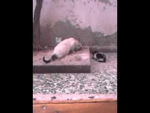 Big kitten not like little kitten - YouTube