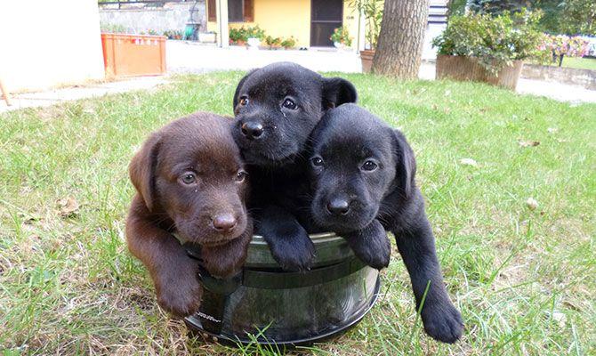 Labrador neri e chocolate. I cani labrador sono ottimi cuccioli da compagnia e una volta adulti ottimi fedeli compagni di avventure. Molto socievoli e amici dei bimbi. L'allevamento è in Piemonte, provincia di Cuneo.