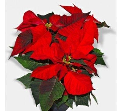 Sheer Wrap - Poinsettia Red by VIDA VIDA SNX80