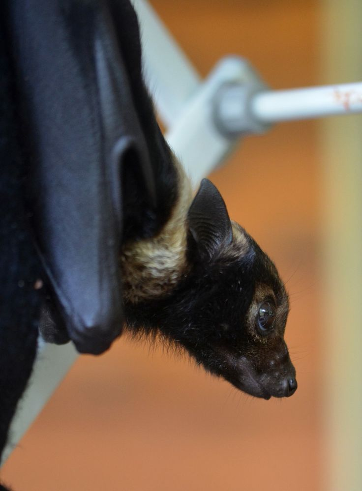 Belle, the baby bat, won't be long before she takes her first flight