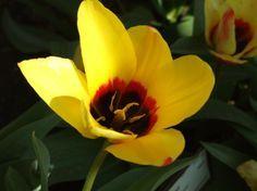 Cuándo plantar tulipanes - http://www.jardineriaon.com/cuando-plantar-tulipanes-2.html