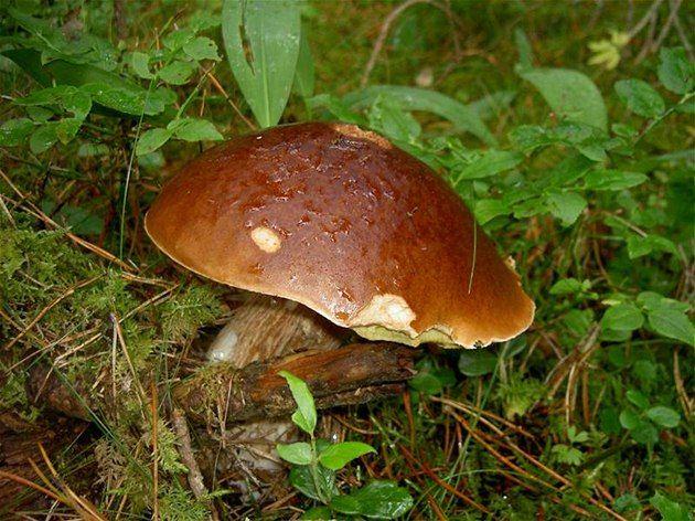 Po propršených dnech čekají všichni houbaři na bohatou sklizeň. Déšť vám ale…