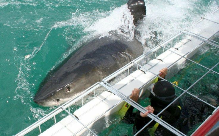 Shark-cage-diving with Marine Dynamics -02