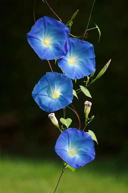 そらいろあさがお (空色朝顔) /Ipomoea tricolor  by nobuflickr, via Flickr