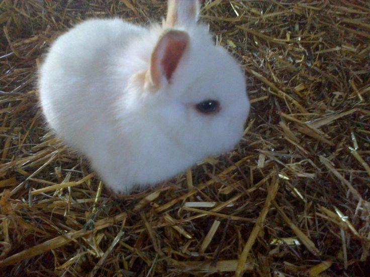 Cuccioli di conigli nano bianchi disponibili dal 1 febbraio . Per info non esitate a contattarni al 3772041521 (anche WhatsApp) o preferibilmente via e-mail al seguente indirizzio: allevamentodigiorgio@gmail.com.