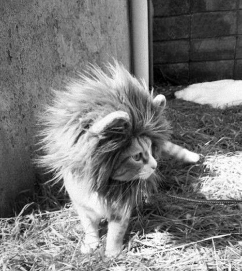 Lion Cat (would love to credit the original photographer.  does anyone have the link?)