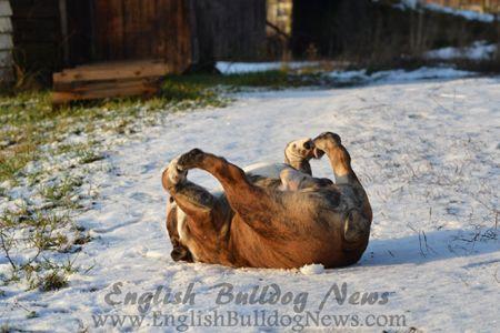 English Bulldog News Forums - January 2015 Bulldog of the Month Winners!