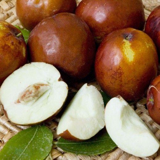 Ююба любит тепло. Зизифус, унаби, грудная ягода, китайский финик, ююба — названий много, а речь об одном и том же растении — из рода Зизифус. Это древнейшее плодовое растение, распространившееся по всему земному шару в районах с теплым климатом, окультурено, вероятно, семь-восемь тысяч лет назад. В Китае издавна унаби признано одной из ведущих плодовых культур. В Никитском ботаническом саду в Крыму создана коллекция крупноплодных китайских сортов. Фото: © groworganic