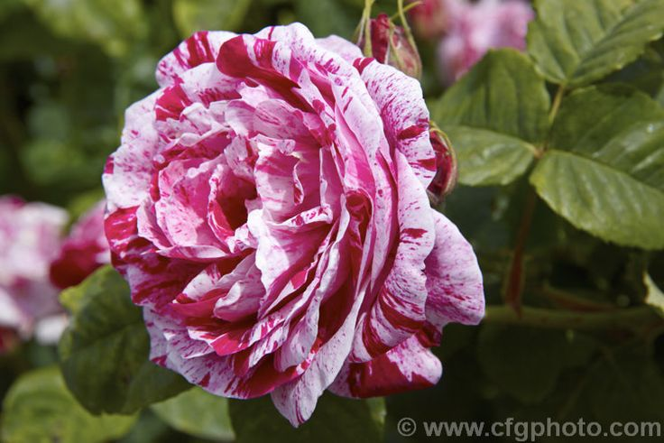 Rosa 'Ferdinand Pichard', a fragrant Hybrid Perpetual rose of unknown parentage introduced by Tanne in 1921. It is often incorrectly classified as a Bourbon.