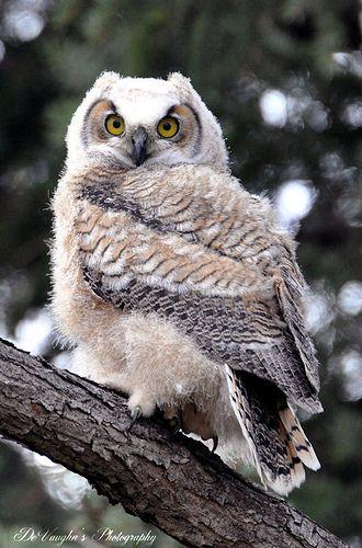 Owlet: