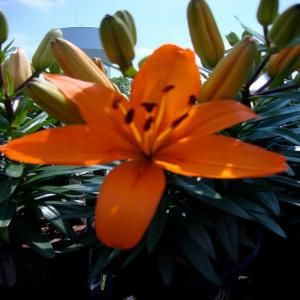 Orange Asiatic Lily -- http://thd.co/xnJTTT