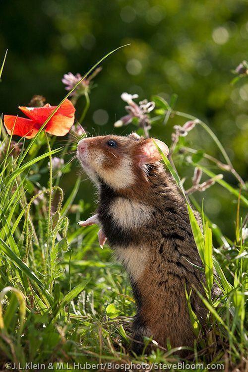 Hamster smelling a corn poppy in Alsace, France - Steve Bloom Images #HamsterGuide #hamsterpet