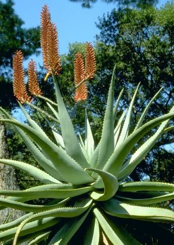 "Cape Aloe Aloe ferox  An attractive succulent plant from South Africa that can be grown in the home or greenhouse. Used to make the popular ""Swedish Bitters"" in Europe. A pharmaceutical source of aloe used as a purgative."