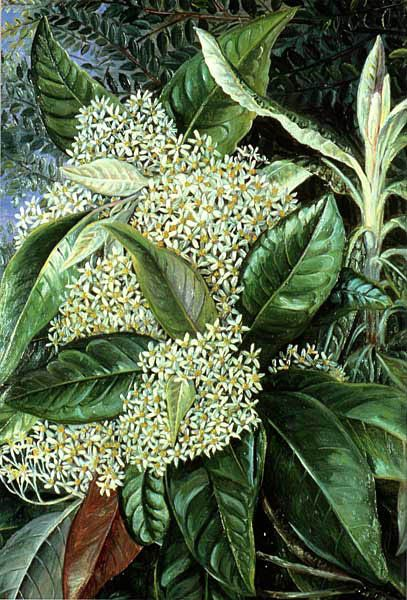 Olearea argyrophylla  Musk Tree  family ASTERACEAE        artist: Marianne North (1830-1890)        painted 1880, Victoria