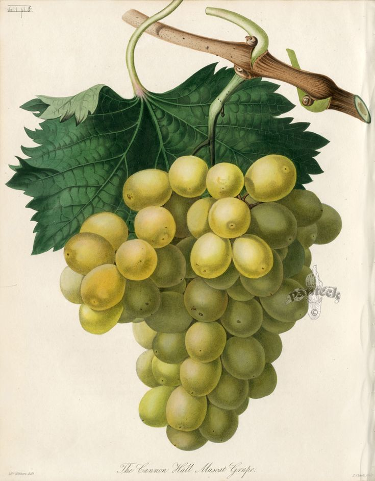 The Cannon Hall Muscat Grape. Transactions of the Horticultural Society Botanical Prints, 1812