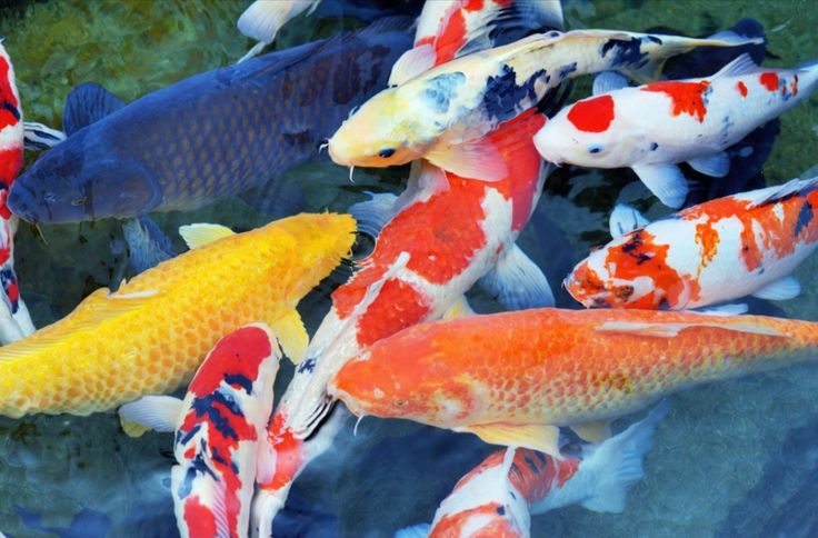 67 best ponds water features fish images on pinterest for Koi fish value
