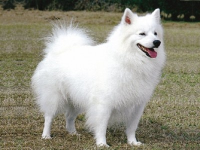 American Eskimo Dog(Breed Group: Non-Sporting)  The exact origin of this breed is unknown, although it is widely believed this companion dog originated in the United States by German immigrants in the 20th century. A Member of the Spitz family, the American Eskimo Dog comes in three different varieties: toy, miniature, and standard. They became extremely popular in the 1930's and 1940's as a circus performer.