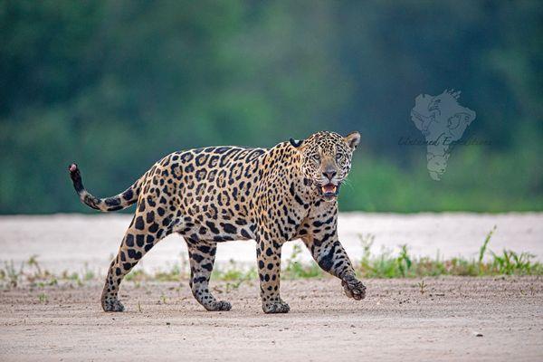 Swagger Animals Jaguar Cat Photography