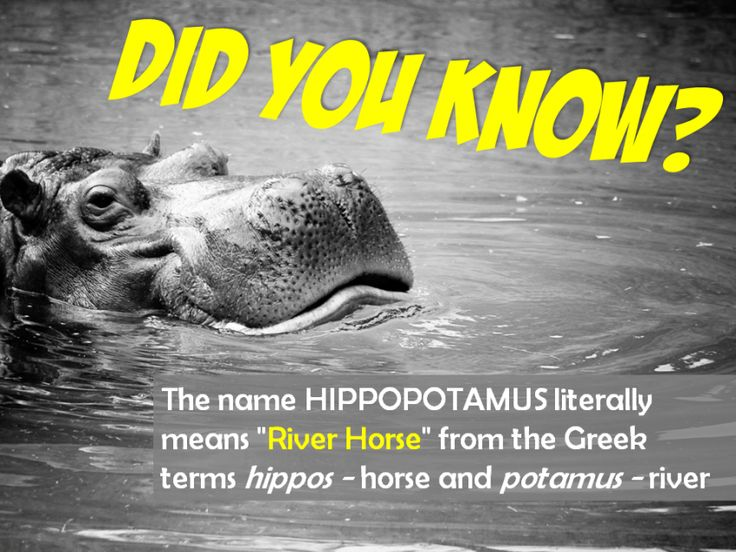 Image result for hippopotamus greek meaning
