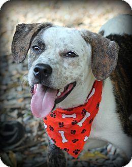 Dalton, GA - Boxer/Terrier (Unknown Type, Medium) Mix. Meet Charlee a Dog for Adoption.