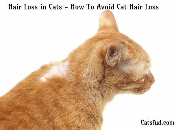 Hair Loss In Cats How To Avoid Cat Hair Loss Catsfud Cat Hair Loss Cancer In Cats Cat Skin Problems