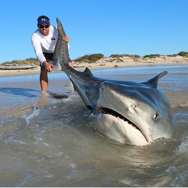 Tiger shark from the beach