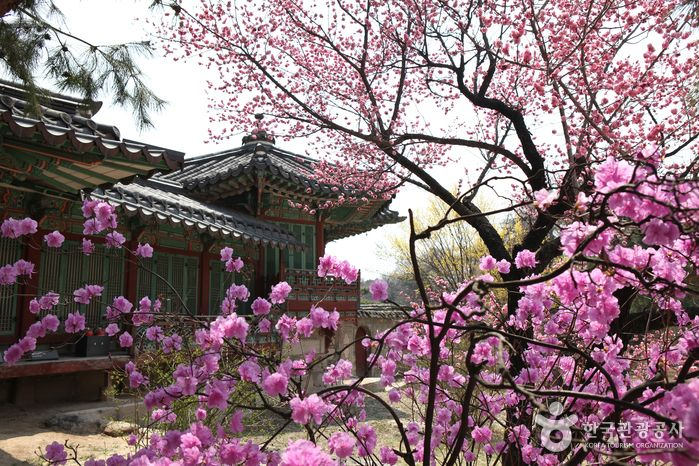 옛스러움이 묻어나는 고궁 전체에서 봄꽃 행렬이 펼쳐지는 창경궁