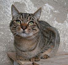 Gato Rifi. Hermano de Rafe. Desean vivir con una familia.