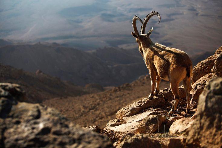 by Amir Cohen: Beautiful Ibex, Ramones Crater, Israel Beautiful, Amir Cohen, Beautiful Places, Israel Negev, Ibex Stands, Negev Desert, Southern Israel