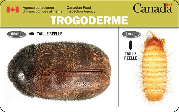 Le trogoderme peut sembler sans danger, mais il peut causer de graves dommages aux céréales et aux produits céréaliers entreposés. Aucune éclosion n'a été signalée au Canada, mais nous devons demeurer vigilants afin d'empêcher l'introduction de ce ravageur au pays. Pour en savoir plus : http://inspection.gc.ca/vegetaux/protection-des-vegetaux/insectes/trogoderme/fra/1328540150400/1328540259977
