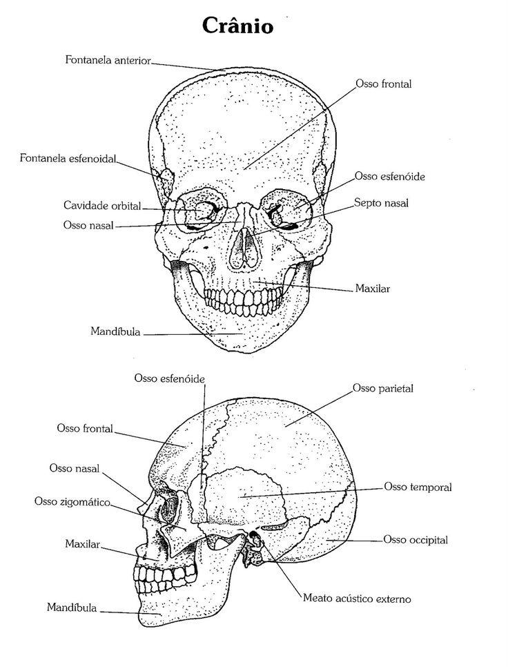Colorindo o crânio para ficar melhor a visualização e memorização