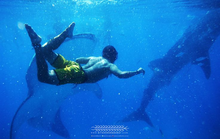 oslob south cebu whale shark tan-awan