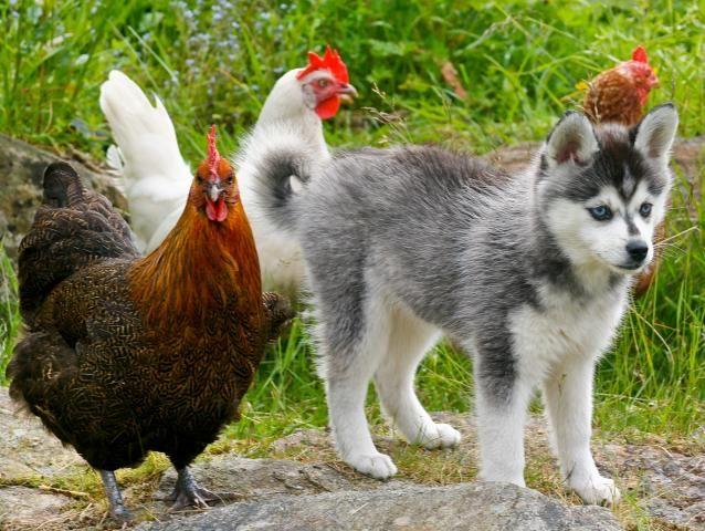 Husky Dogs For Sale In Oregon