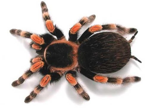 Amazing Tarantula spider - Giant Tarantula Facts, Photos, Information, Habitats, News | World Most Amazing Things, World Most Unique Things, World Amazing Facts, Most Amazing News, Ideas, Places