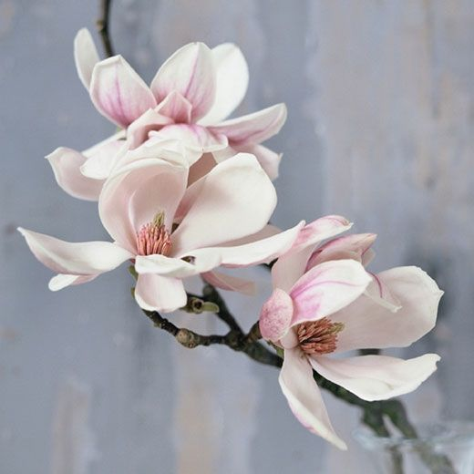 Magnolia - Grijshout