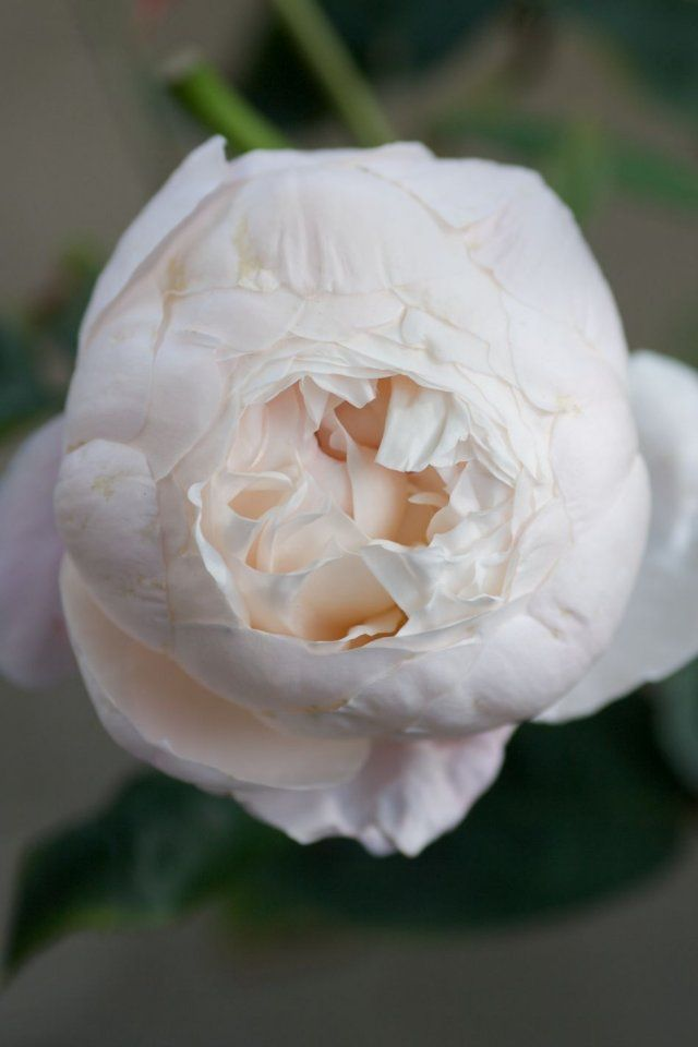 """'St. Cecilia' - """"The fragrance is very strong and both remarkable and unusual; an English Rose myrrh character with lemon and almond blossom."""""""