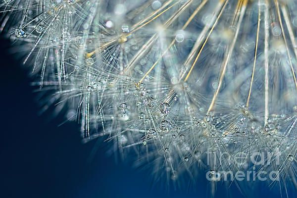 #BLUE #DANDELION #DEW by #Kaye #Menner #Photography Quality Prints Cards and more at: http://kaye-menner.artistwebsites.com/featured/blue-dandelion-dew-by-kaye-menner-kaye-menner.html