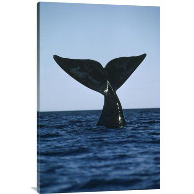 "East Urban Home 'Southern Right Whale Tail, Peninsula Valdez, Argentina' Photographic Print Size: 36"" H x 24"" W, Format: Wrapped Canvas"