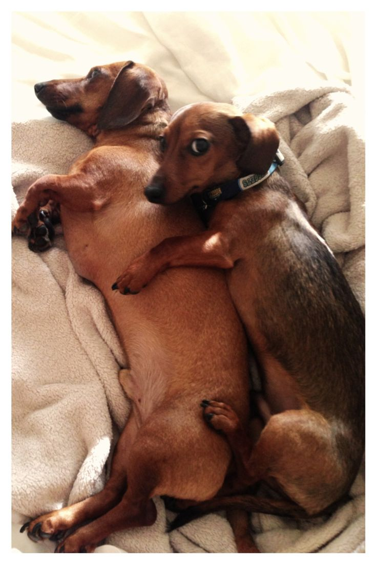 How to snuggle like a weenie dog