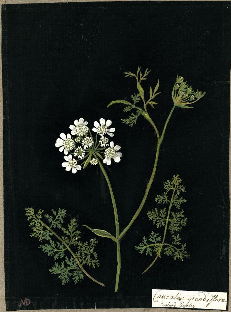 Caucalis Grandiflora (Pentan: Digynia), from an album (Vol.II, 68); Bastard Parsley. 1778 Collage of coloured papers, with bodycolour and watercolour, on black ink background, Mary Delany (1700-1788)