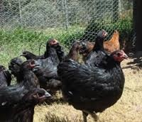 Australorp Chickens - Google Search