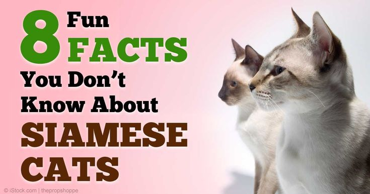 Although Siamese cats are smart and demanding, they are one of the oldest and most popular cat breeds in existence. http://healthypets.mercola.com/sites/healthypets/archive/2015/01/30/siamese-cats.aspx