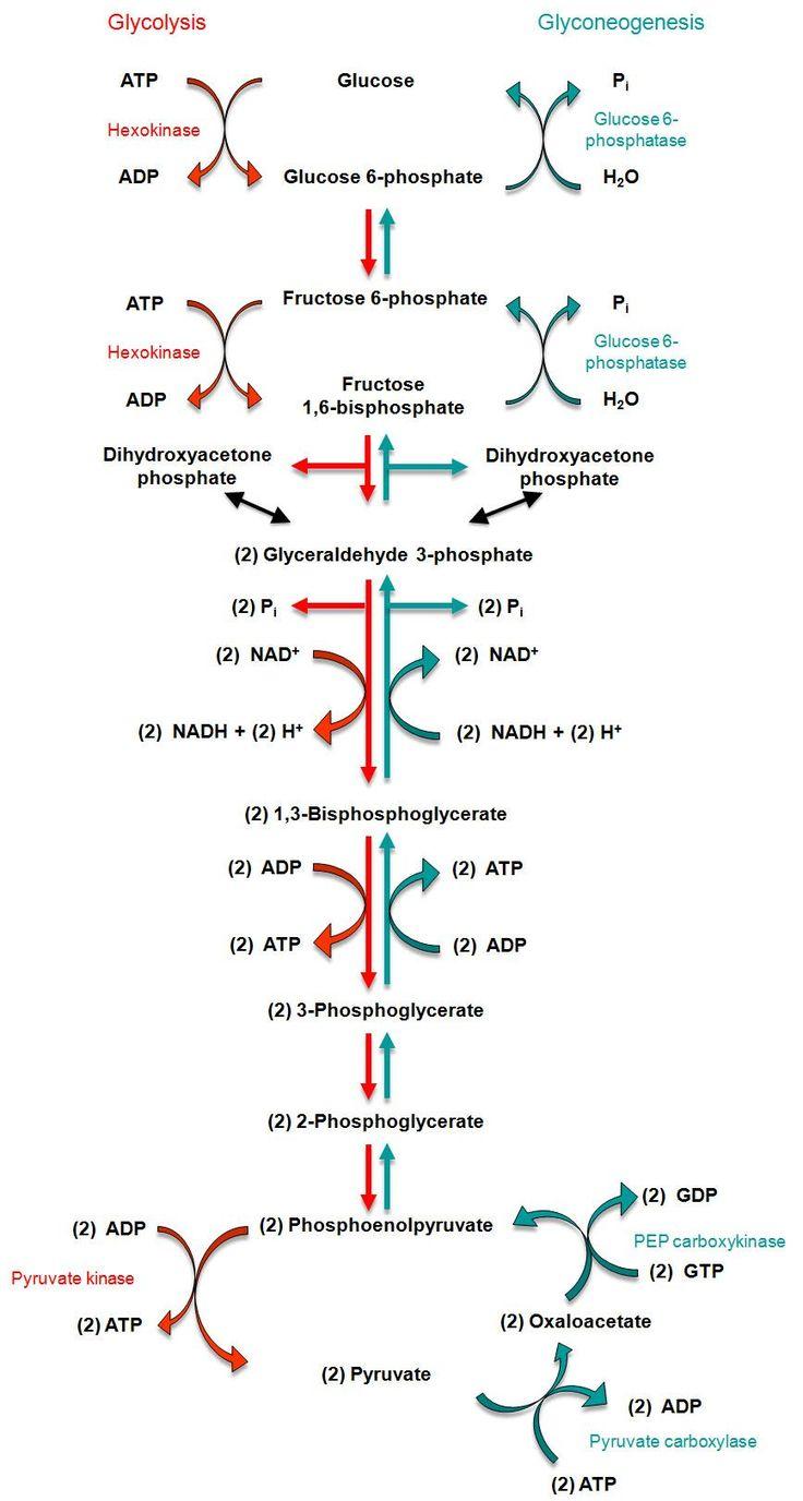 gluconeogenesis | Relationship between glycolysis and gluconeogenesis Erfolg im … – Z.D07 Demir