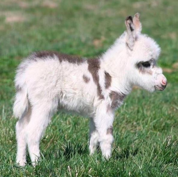 This is also a mini donkey.   You Should Probably Adopt One Of These 20 Mini Donkeys That Needs A Forever Home