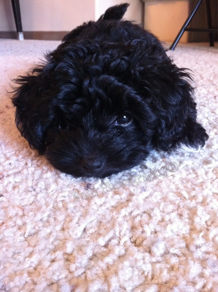 My next dog will be a black. multipoo