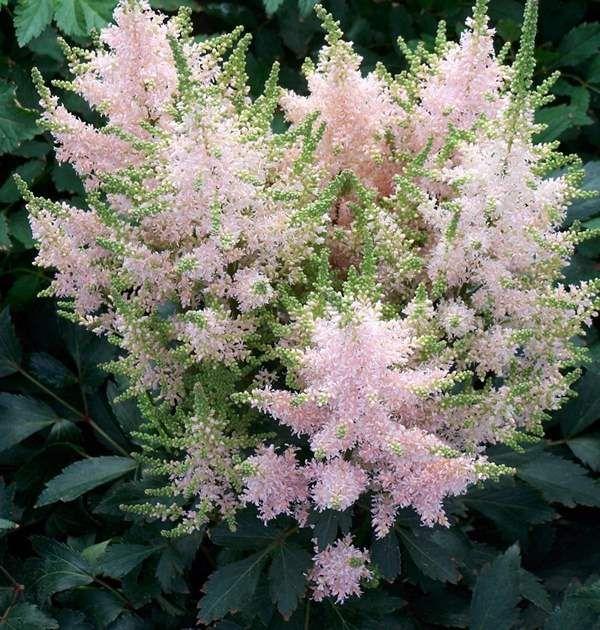 Astilbe 'Younique Salmon'. Trivs bäst i halvskuggiga/skuggiga lägen. Passar bra att plantera vid dammar. Kan även planteras i full sol men då måste jorden vara fuktig. Blommar juli-september, blir 0.5-1 meter hög.