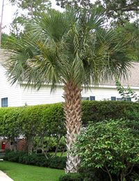 Cabbage Palm Tree – Sabal palmetto The Cabbage Palm is native to North America. This palm is very durable and will tolerate a wide variety of soil and weather. The Cabbage Palm is a cold hardy palm that can tolerate drought as well as cold down to 10-15F when mature. This palm grows at the average rate and is perfect for USDA zones 8a-11.