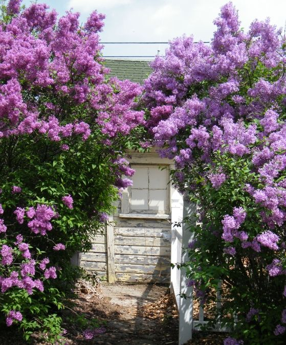lilac garden - I can just smell them..my favorite!
