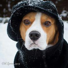 Louie the beagle keeping warm